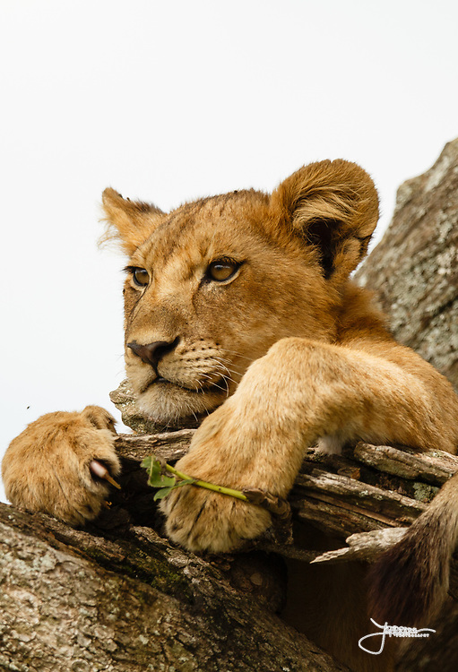 Lion cub possibly 1 yr old resting in tree in Serengeti, Tanzania