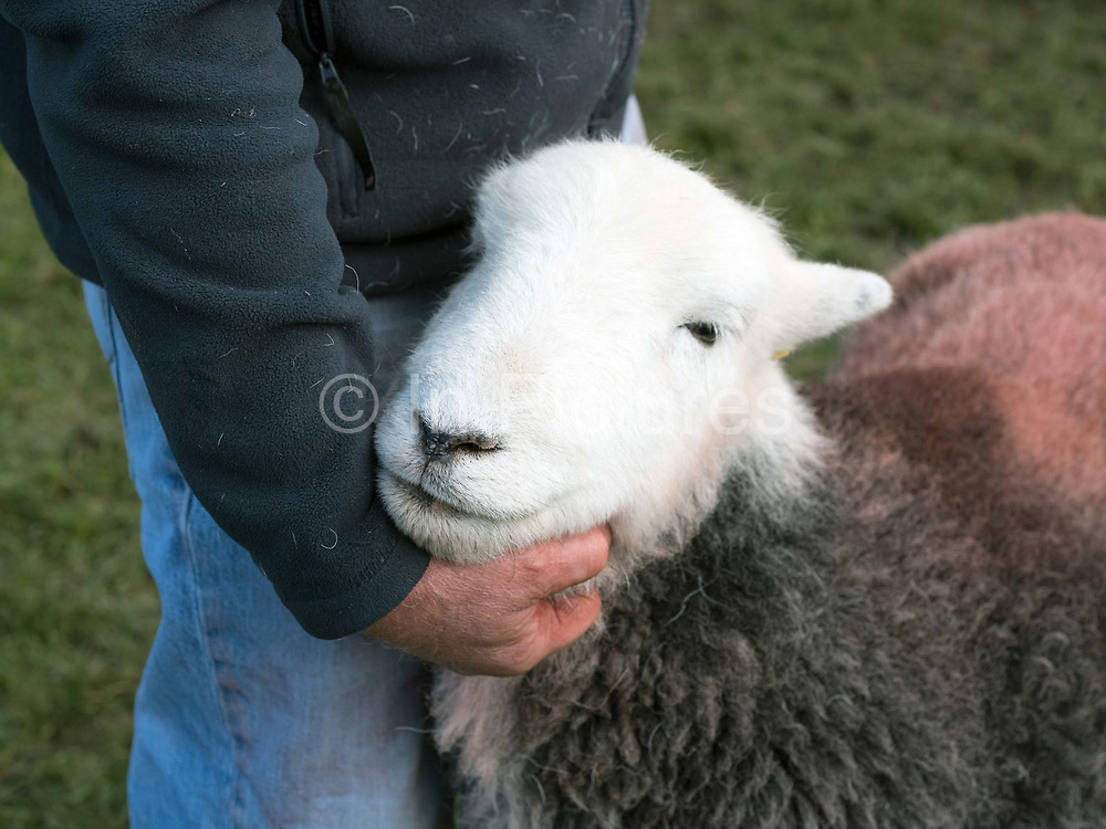 Hill farmer showing his Herdwick sheep at Buttermere Shepherds Meet in Cumbria on 28 October 2018. Herdwick sheep are the native breed of the central and western Lake District and live on the highest of England's mountains. They are extremely hardy and are managed in the traditional way on the Lake District fells that have been their home for generations.