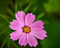 Pink Cosmos Wildflower. Image taken with a Nikon D850 camera and 105 mm f/2.8 VR macro lens