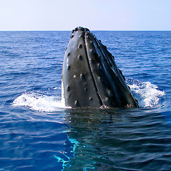 humpback whale spyhopping, Megaptera novaeangliae, Hawaii, Pacific Ocean