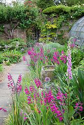 Border at Docwra's Manor with Gladiolus communis subsp. byzantinus - Byzantine gladiolus