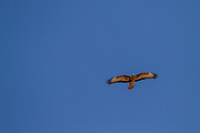Common buzzard (Buteo buteo) in flight with a blue sky background. This bird of prey is found throughout Europe and parts of Asia, inhabiting open areas, such as farmland and moors, and wooded hills. It grows up to 50 centimetres in length and feeds on small birds, mammals and carrion. Photographed in Israel in April