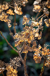 Dead hydrangea flowers left on for winter protection.