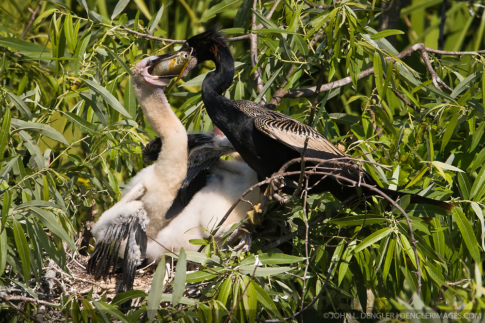 A male anhinga (Anhinga anhinga) regurgitates a fish it caught into the mouth of one of its chicks. The nest is in the Gatorland alligator breeding marsh and bird sanctuary near Orlando, Florida. The bird sanctuary is the largest and most easily accessible wild wading bird rookery in east central Florida.