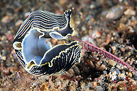 Armina Nudibranch feeds on Sea Pen<br /> <br /> Shot in Indonesia