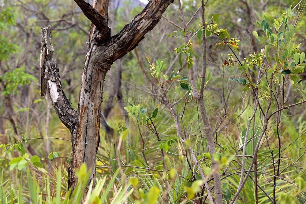 Common Potoo day time Roost<br />Nyctibius griseus griseus<br />Cerrado Habitat.  BRAZIL.  South America<br />Range; Colombia, Guianas, Trinidad to Brazil and Argentina