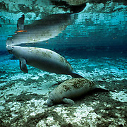 West Indian Manatee, (Trichechus manatus) Cow and calf in fresh water spring,surface for air. Florida.
