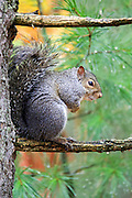 Gray squirrel sittting on a pine tree branch in the rain.