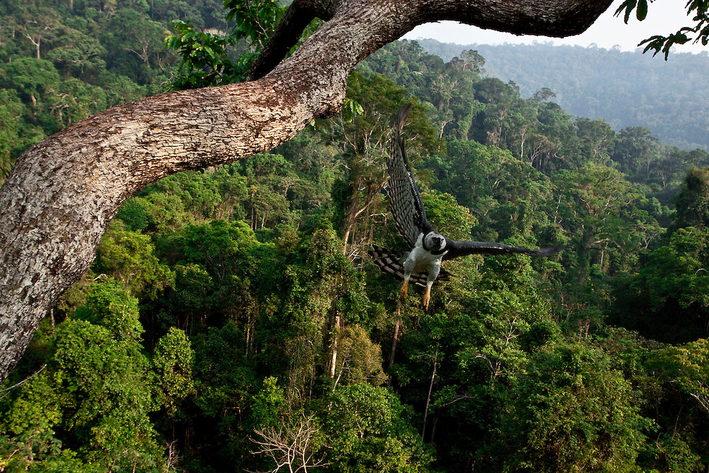Parauapebas, Para - Brazil...July 2009...Originally the harpy eagle inhabited the tropical forests from .southern Mexico to northern Argentina. This species is still living in .balance in the Carajás National Forest valleys...Photo: Joao Marcos Rosa / Nitro