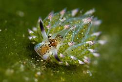 This tiny creature, roughly the size of a rice grain, is Kuro's sapsucking slug,  Costasiella kuroshimae. Dauin, Dumaguete, Negros, Philippines, Pacific Ocean