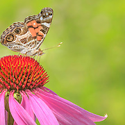 American Lady butterfly extracting nectar from purple coneflower in tallgrass prairie setting, north central Ohio.
