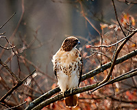 Red-tailed Hawk (?). Backyard Autumn Nature in New Jersey. Image taken with a Nikon D3x camera and 600 mm f/4 VR lens (ISO 800, 600 mm, f/4, 1/500 sec).