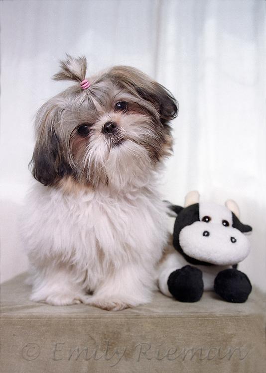 Shitzu puppy with stuffed hippopotamus toy
