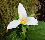 A trillium flower blooms white in West Tiger Mountain Natural Resources Conservation Area, Washington, USA. Find the West Tiger Mountain trailhead at I-90 Exit 20 near Issaquah.