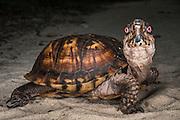 Common box turtle (Terrapene carolina)<br /> CAPTIVE<br /> The Orianne Indigo Snake Preserve<br /> Telfair County, Georgia<br /> USA<br /> HABITAT & RANGE: Open woodlands, marshy meadows, floodplains, scrub forests and brushy grasslands of eastern USA to Mexico