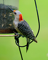 Red-bellied Woodpecker. Image taken with a Fuji X-T2 camera and 100-400 mm OIS lens.