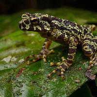 Everett's Tree Toad (Rentapia everetti). Sarawak, Malaysia (Borneo).