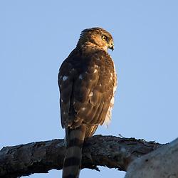 A juvenile sharp-shinned hawk in a tree along the Osprey Trail at Honeymoon Island State Park in Dunedin, Florida.