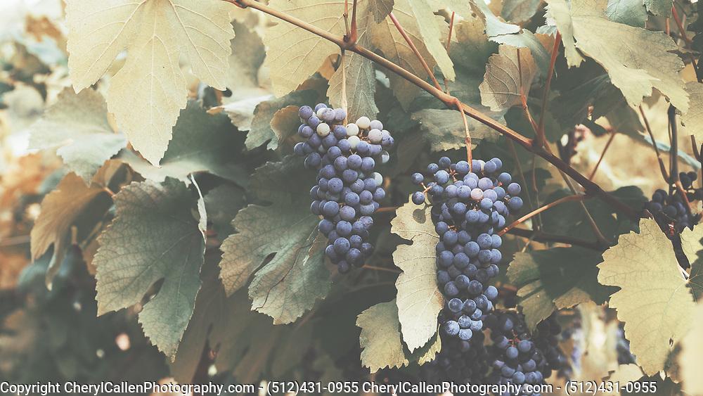 """Lenoir Grapes, also called """"Black Spanish"""" on the vine"""