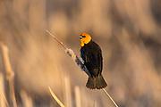 Male yellow-headed blackbird on territory