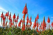 Red Hot Poker Wild Flower In Laguna Beach