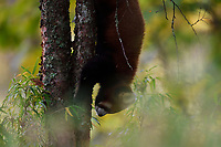 Red panda or Lesser panda (Ailurus fulgens) Red panda climbing down a tree trunk in the humid montane mixed forest, Laba He National Nature Reserve, Sichuan, China