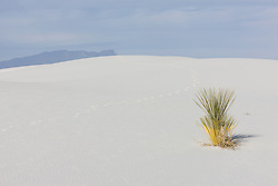 Soaptree Yucca (Yucca elata)Sand dunes at White Sands National Monument, New Mexico, USA.