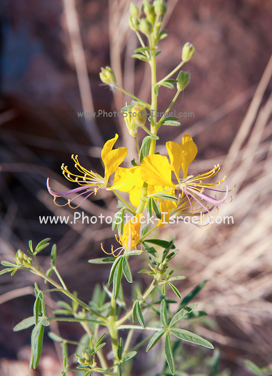 blooming yellow flower,  Brandberg Mountain, Damaraland, Namibia