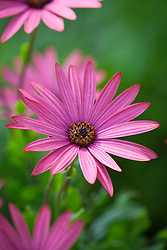 Osteospermum from Greece to i.d