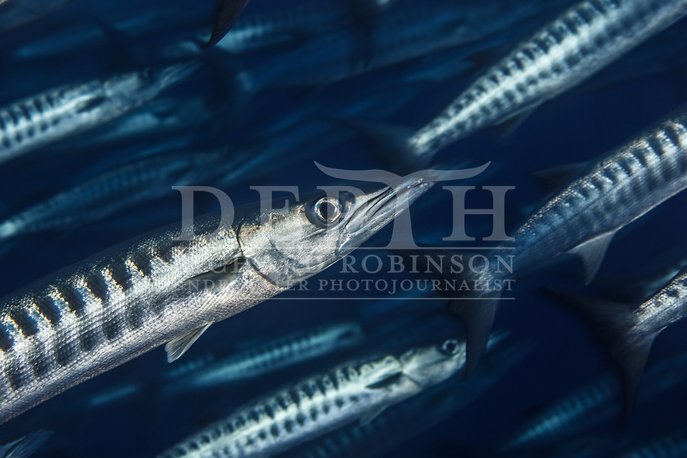 Sphyraena qenie (Blackmargin Barracuda) at Vautoa Ono in the Lau Island Group of Fiji.<br /> Tuesday 15 August, 2017<br /> Photograph Richard Robinson © 2017