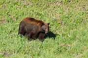 Black bear in Yellowstone National Park, Wyoming