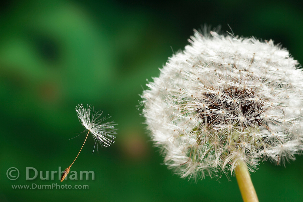A seed from a dandelion (Taraxacum officinale) is dispersed by wind in Western Oregon.