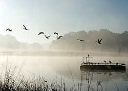 © Licensed to London News Pictures. 06/11/2014. Richmond, UK . Geese fly across a misty pond. People and animals during a frosty start to the day on 6th November 2014. Temperature fell across the country overnight. Photo credit : Stephen Simpson/LNP