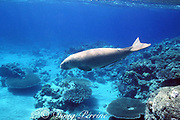 dugong (sea cow), Dugong dugon, Endangered Species<br /> with remoras ( sharksuckers ), Echeneis naucrates, swimming over shallow coral reef, Vanuatu, South Pacific