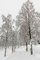 A row of trees on the lane that leads to Plassen Church (kirke), Trysil, Norway.