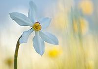 Italy; Narcissus; Narcissus Poeticus; Sibillini NP