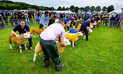 Biggar, South Lanarkshire, Scotland 23 July 2016<br /> <br /> Farmers showing Texel sheep in the show ring.<br /> <br /> (c) Andrew Wilson | Edinburgh Elite media
