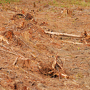 A forest that has been clearcut