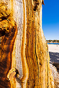 Foxtail Pine detail (Pinus balfouriana) at Muir Lake, John Muir Wilderness, California USA
