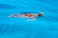 Sea turtle swimming  in Philippines sea