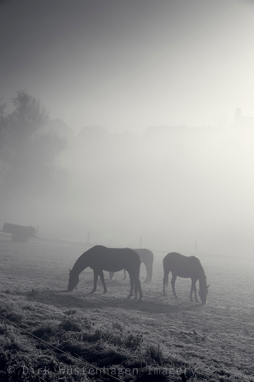 Horses on a paddock on a cold autumn morning - monochrome photograph