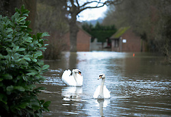 © London News Pictures. 11/02/2014. Wraysbury, UK.  Swans floating on flood water on a residential street in Wraysbury, Berkshire. The area has been hit hard by recent flooding from the nearby Thames River. Photo credit : Ben Cawthra/LNP