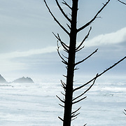 A mist and fog enshrouded coastline gives way to a skeletal tree trunks and the Pacific Ocean near Cannon Beach Oregon.