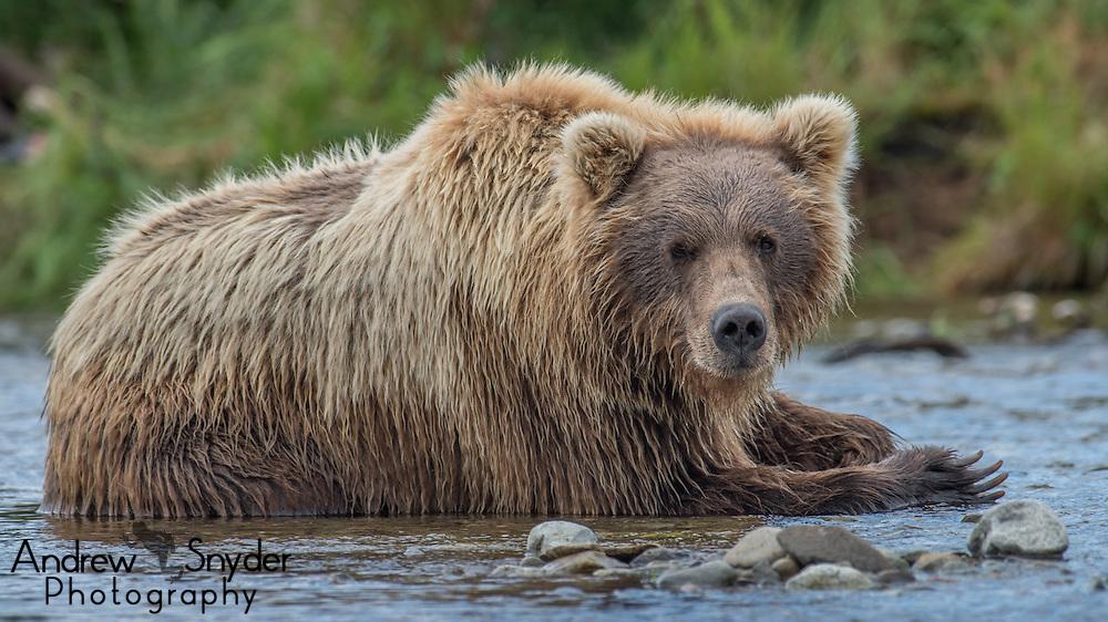 A brown bear cools off in the river - Katmai, Alaska