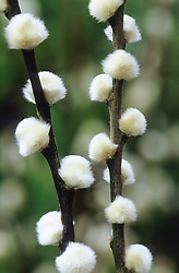 Pussy willow - Salix daphnoides