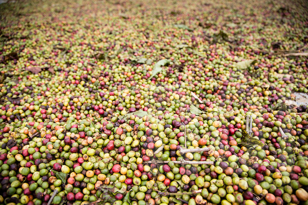 Freshly coffee beans harvested, Vietnam, Southeast Asia