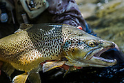 Seriuos deep gut and hump back cloaks a mousing brown trout on New Zealand's South Island.