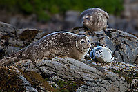 Seals and cute baby seal hauled out on rocks, Galapagos. Wildlife and Nature photography prints for sale. Fine art photography wall art and stock images