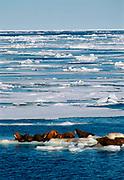 Walruses on ice floes near Wrangel Island, Arctic Siberia