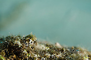 Secretary Blenny (Acanthemblemaria maria)<br /> BONAIRE, Netherlands Antilles, Caribbean<br /> HABITAT & DISTRIBUTION: Hard-bottom slopes extending from shore, limestone rocks and amongst fire coral and other brain corals.<br /> Bahamas & Caribbean